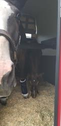 Mare and Foal in Comfort trailer